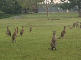 a few kangaroos to keep me company on the morning run