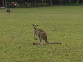 and more curious roos.....
