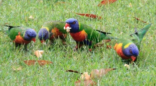 and rainbow lorikeets in the backyard