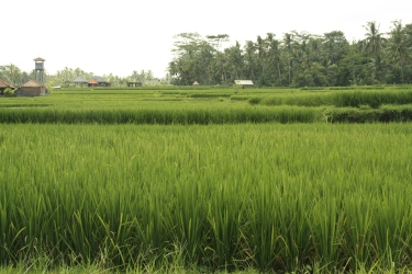 the beautiful rice paddies