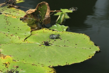 this is the first time I have actually seen a frog on a lilypad :)