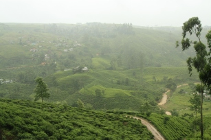 beautiful rolling tea plantations