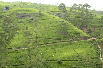 tea plantation with workers dotted throughout