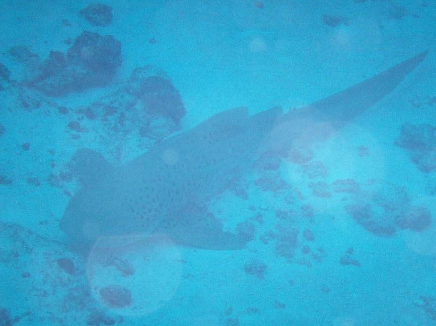 leopard shark sitting on the bottom