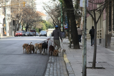 these dogwalkers are everywhere in Buenos Aires, sometimes with as many as 15 dogs in tow